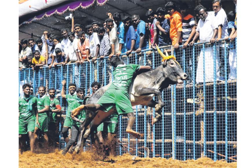 அவனியாபுரத்தில் நடக்கும் ஜல்லிக்கட்டில் சீறிப் பாயும் காளையை அடக்கும் வீரர். படம்: ஏஎஃப்பி
