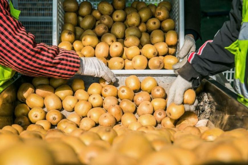 சீனாவில் கிவி பழங்களைப் பிரித்தெடுக்கின்றனர். இது 2019ல் எடுக்கப்பட்ட படம். படம்: ஏஎப்பி.