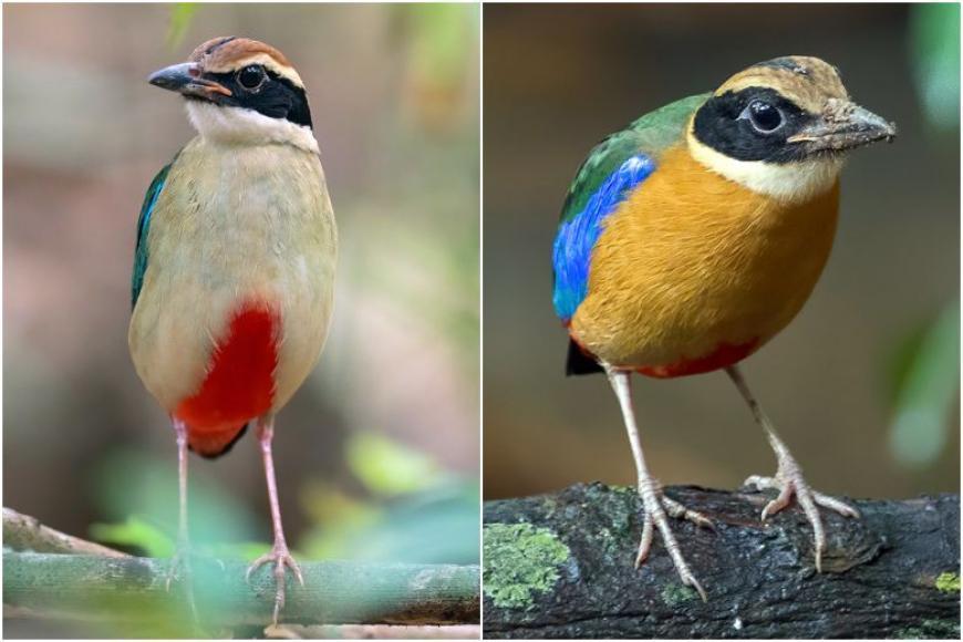 சிங்கப்பூரில் தென்பட்ட அரிய பறவைகள் Birdu