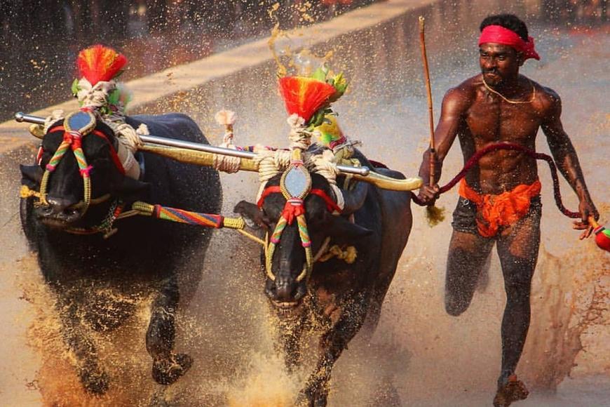 சீனிவாச கவுடா, கம்பலா பந்தயத்தில்  நீர் நிறைந்தசேற்றில் ஓடி 9.55 நொடிகளுக்குள் பந்தயத்தில் வென்று சாதனை படைத்திருக்கிறார்.படம்: இணையம்,