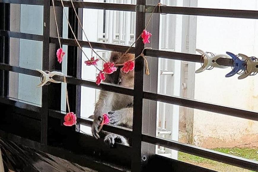 எதிர்பாராத விதமாக, நீண்ட வாலுள்ள மக்காவ் எனப்படும் குரங்கு வகுப்பறையின் சன்னல் வழியாக எட்டிப் பார்த்தது. படம்: தி நியூ பேப்பர்
